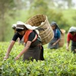 'Tea lady' inspires people to give up opium cultivation in Arunachal