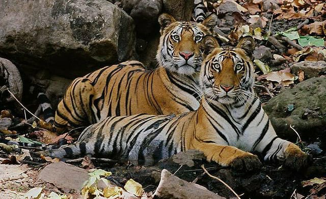 India achieves target of doubling of Tiger Population